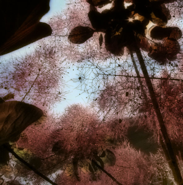 Hand-tinted Look for the Purple Smoke Tree: the layers combined