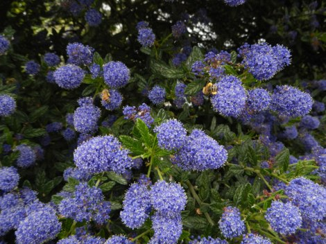 California Lilac heavy with bees and blue blooms