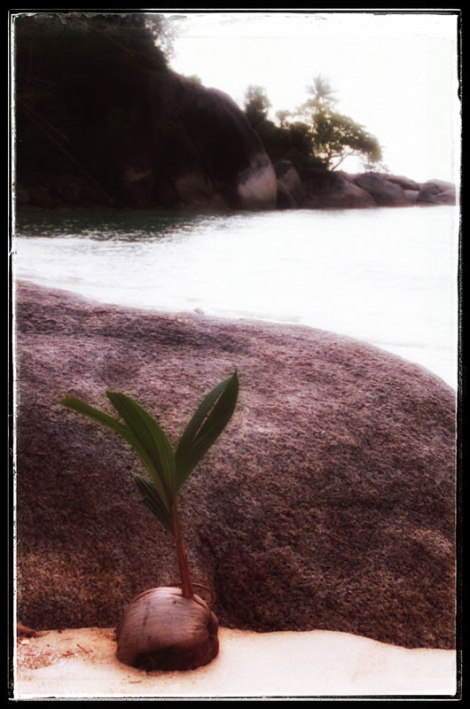 Baby coconut palm tree on a beach in Thailand