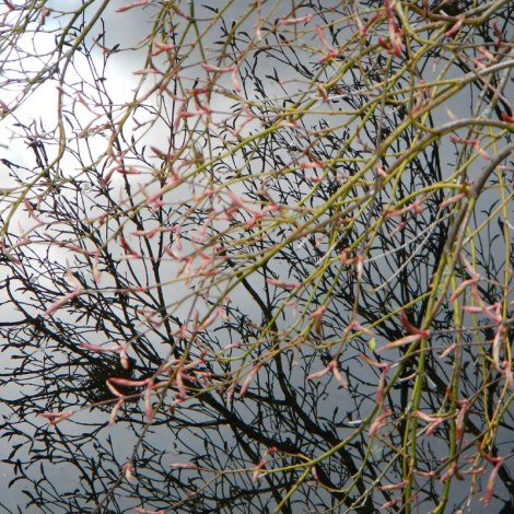 Texture of spring buds