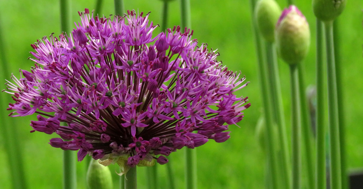 This purple burst of Allium is in the same genus as onions, chives, garlic and a whole host of 'decorative' ornamental alliums that light up late spring in Vancouver, Canada
