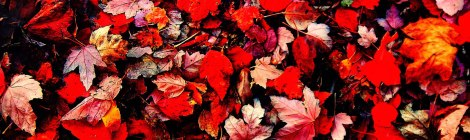 the sidewalk at Granville and 7th was completely covered with a fall collage of red Maple leaves in Pixlromatic